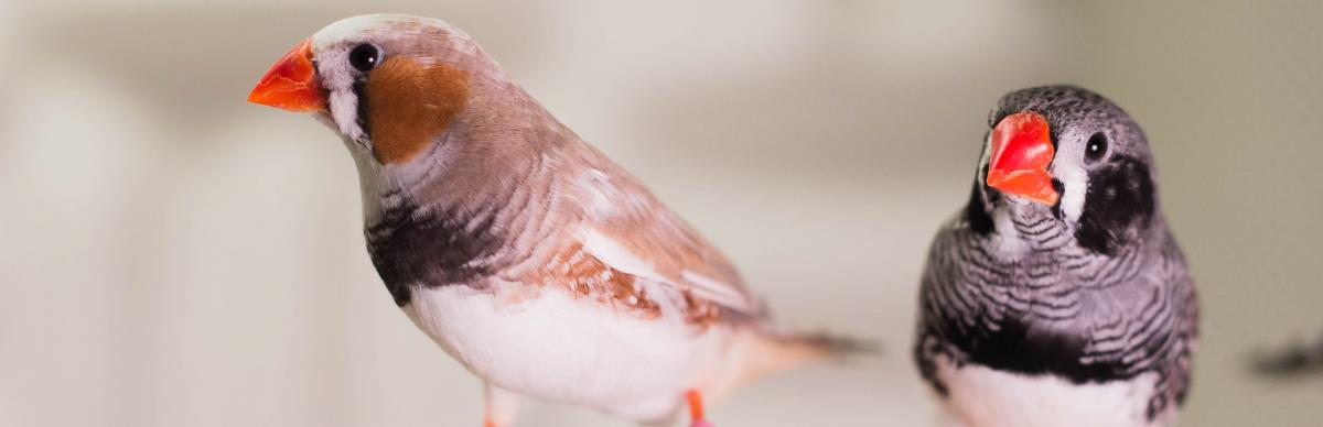 Czy śpiew ptaków i ludzka mowa mają wspólne korzenie biologiczne?